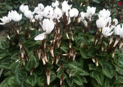 floricolturapaulitti1