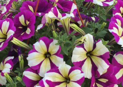 floricolturapaulitti73